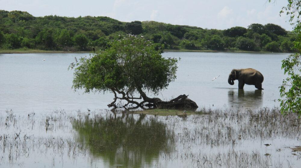 éléphant se baignant dans le park national du Sri Lanka